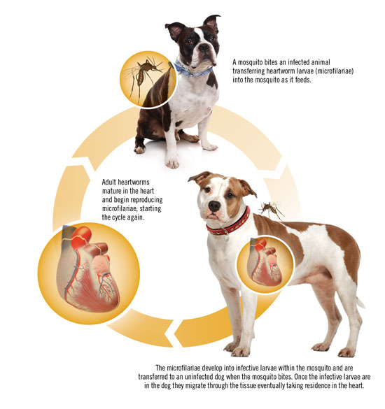 How Long Can A Dog Live With Heartworms Untreated